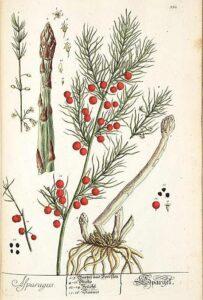 asparagus_illustration