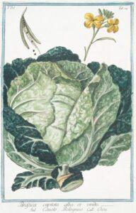 cabbage_illustration