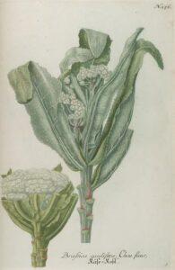 cauliflower_illustration