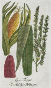 corn_illustration