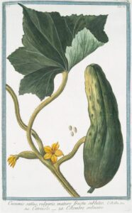 cucumber_illustration