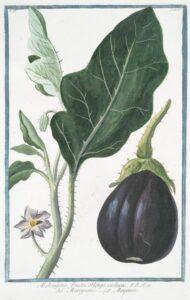 eggplant_illustration