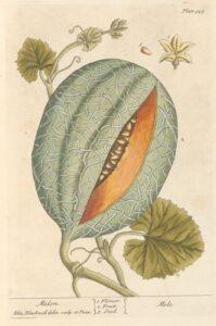 melon_illustration
