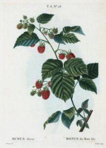 raspberry_illustration