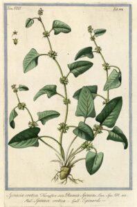 spinach_illustration