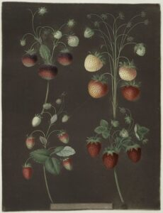 strawberry_illustration