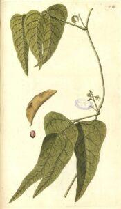 illustration of Lima Beans