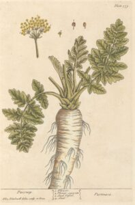 illustration of parsnips