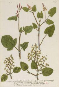 illustration of sorrel